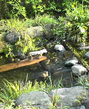 目黒川のカルガモ
