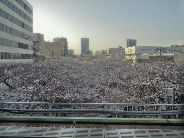 中目黒駅ホームから目黒川桜並木